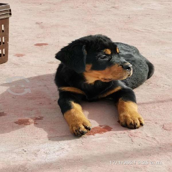 Rottweiler aleman p/c papas con pedigree 2m 1h vac