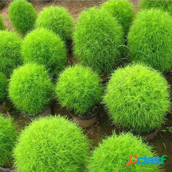 200 unids / bolsa ciprés redondo semillas verano cypress bonsai purificador de aire bonsai olla planta para la decoración del hogar