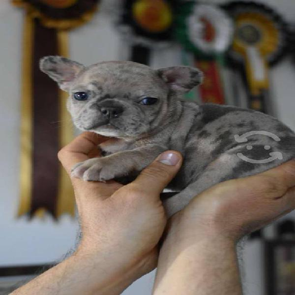 Bulldog francés cachorros lilac tan chocolate at