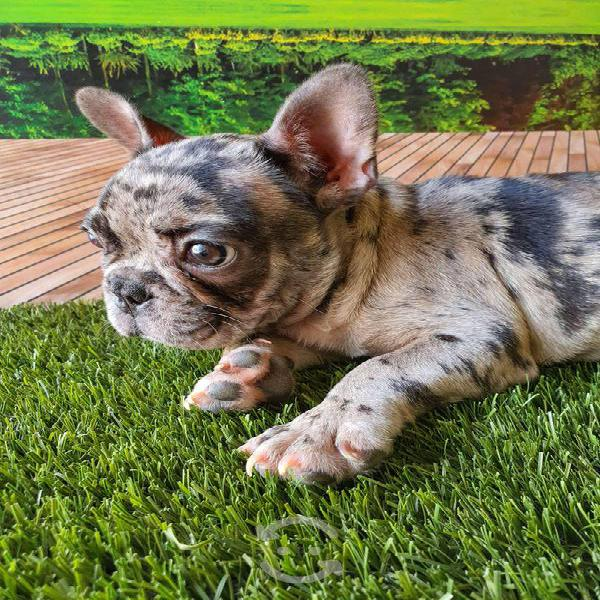 Bulldog francés full calidad
