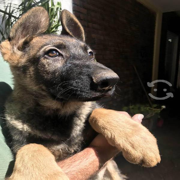 Cachorros pastor aleman sable línea de trabajo