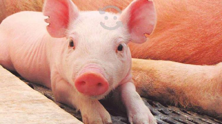 Cerdos cadereyta