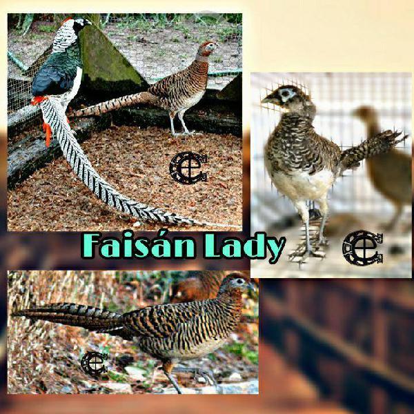 Faisán lady