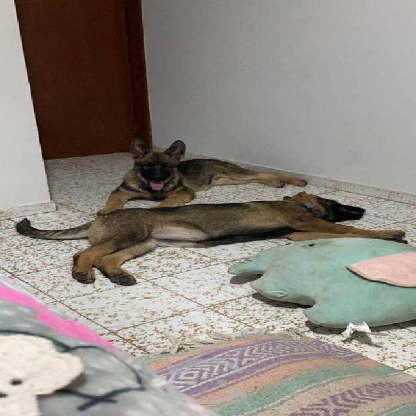 Pastor aleman sable línea de trabajo cachorros
