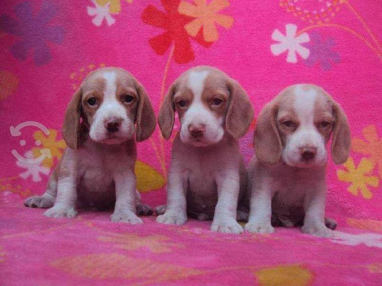 Cachorritos beagle vacunados