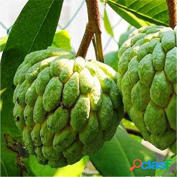 Egrow 5 piezas de chirimoya srikaya shakya semillas bonsai soursop fruit home garden semillas