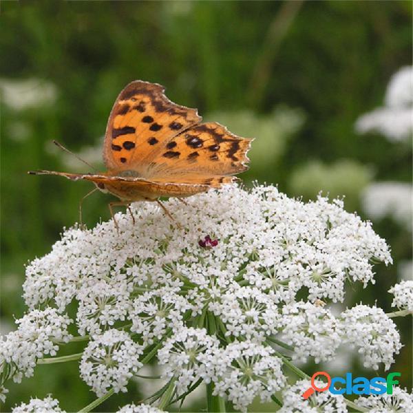 Egrow 200 piezas / paquete cnidium monnieri semillas fructus cnidium home garden decoration
