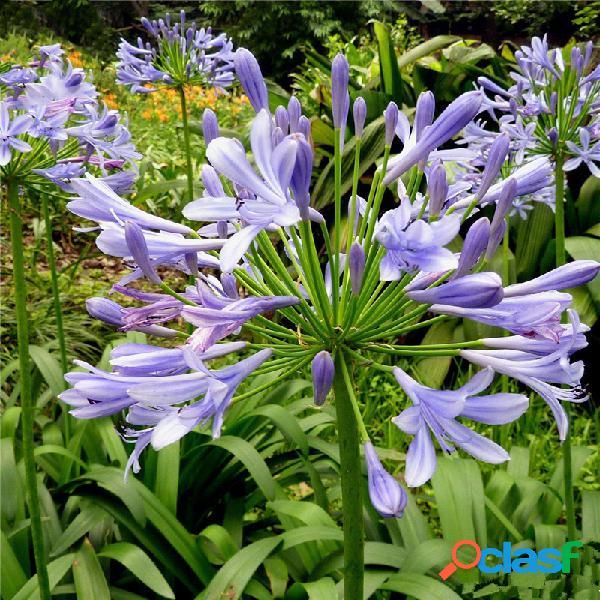 Egrow 30 piezas / paquete agapanthus lily flower semillas agapanthus africanus flower semillas home garden decorat