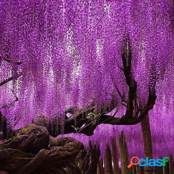 Egrow 15pcs / bolsa rare wisteria semillas de flores púrpura wisteria sinensis dulce semilla para home garden plant