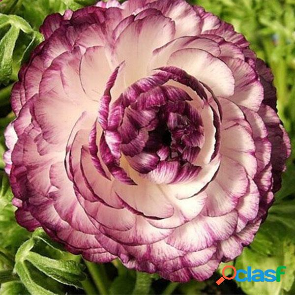 Egrow 50 unids / paquete semillas de ranunculus home garden diy decoración bonsai plantas semillas de flores