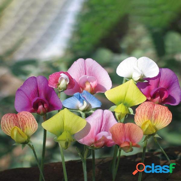 10pcs / bolsa flor de guisante de olor multicolor semillas