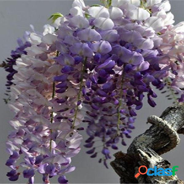 10pcs púrpura wisteria flor semillas plantas trepadoras perennes bonsai home garden