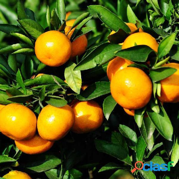 30 piezas de árbol de bonsái de mandarina de frutas comestibles semillas cítricos semillas bonsái de mandarina de naranja semillas