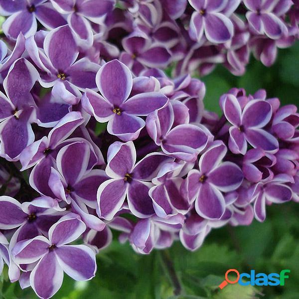 100 unids / pack japonés lila clavo semillas jardín flores perennes plantas aromáticas bonsai semillas