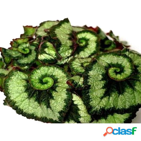100pcs / bolsa flor de coleo verde semillas bonsai hermoso interior / al aire libre planta