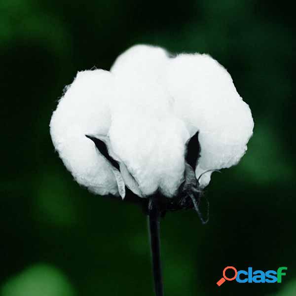 Egrow 50pcs / pack algodón blanco semillas home garden farm cultivos plantas diy bonsai tree semillas