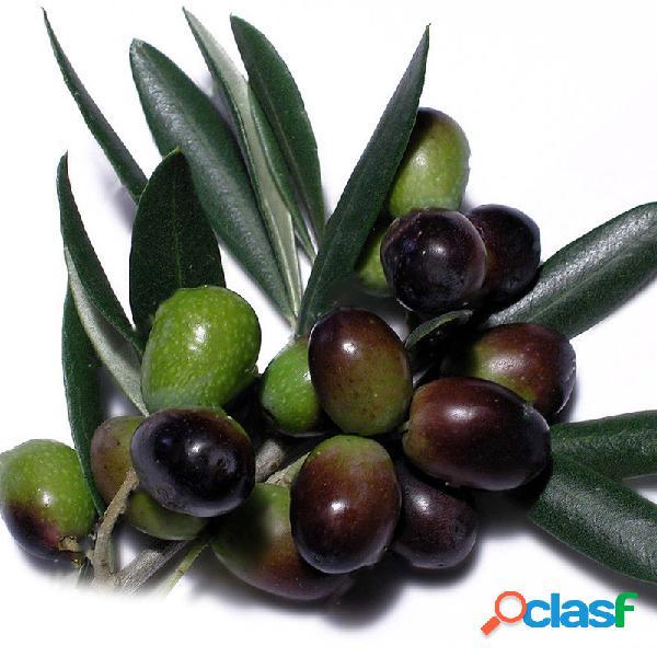 Egrow 100 unids / bolsa mini oliva semillas fruta semillas plantas bonsai para especies de plantas exóticas de jardín semillas