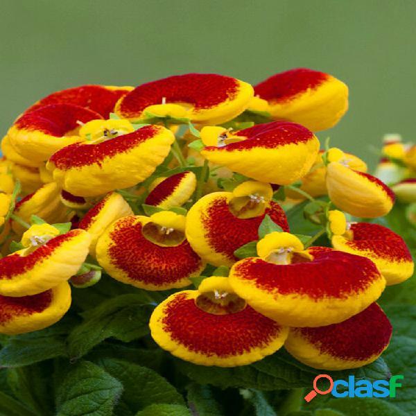 Egrow 100 unids / pack calceolaria herbeohybrida semillas bonsai flor para la planta del jardín de su casa