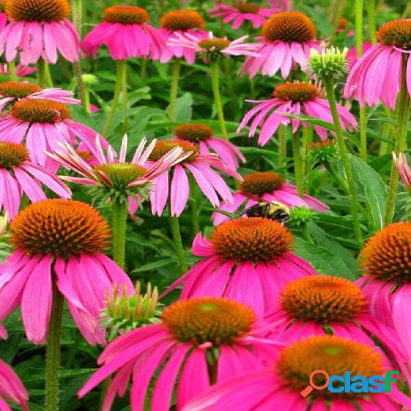 Egrow 300 piezas / paquete echinacea semillas bonsai coneflowe púrpura para jardín de casa planta