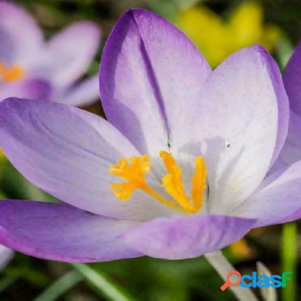 Egrow 100 unids / pack azafrán crocus semillas bulbos bonsai spice sativus flor para jardín de su casa planta