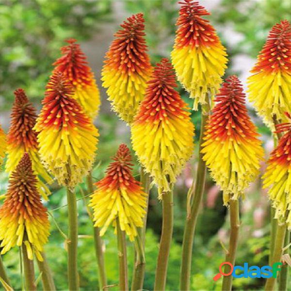 Egrow 50pcs torch lily semillas bonsai torch lily planta jardín familiar en maceta perenne