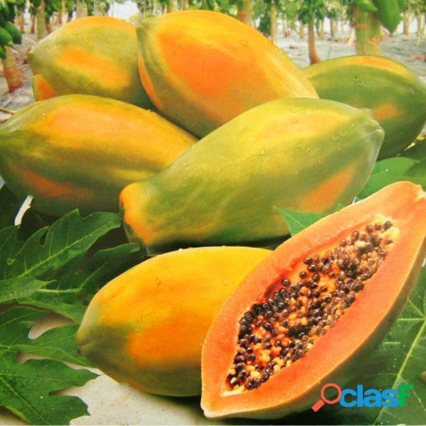 Egrow 15 unids / pack semillas de carica papaya orgánica fruta comestible sweet papaya bonsai semilla de árbol al aire libre