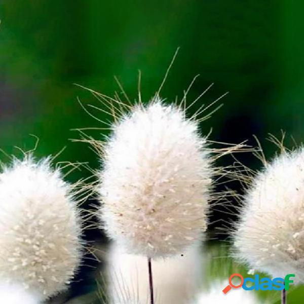 Egrow 100pcs / pack rabbit tail grass semillas plantas de decoración de hierba de cola de conejo de jardín