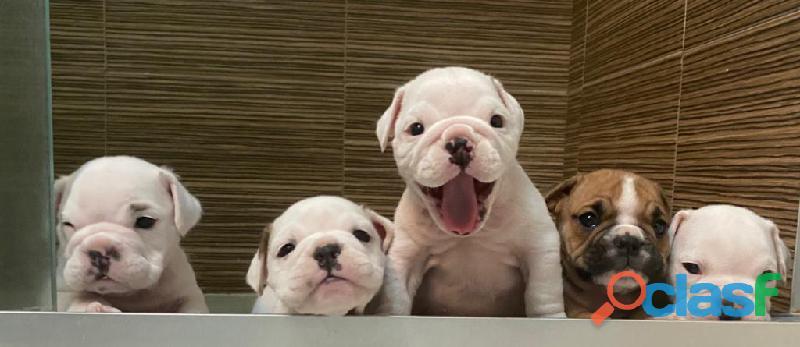 Bulldog Ingles Cachorros 3