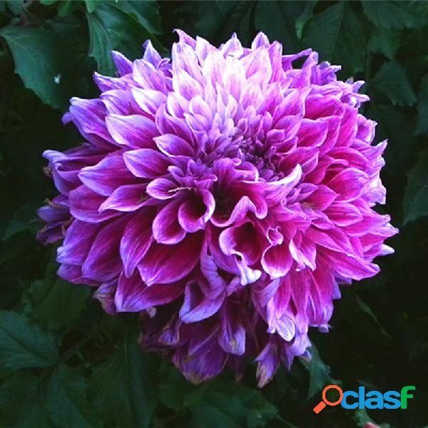 Egrow 100 unids / pack dah lia semillas flor bonsai flor simboliza coraje y suerte home garden plant