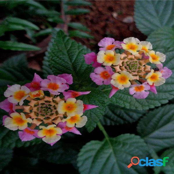 Egrow 30 piezas / paquete lantana semillas lantana camara tree plan flower semillas home garden semillas