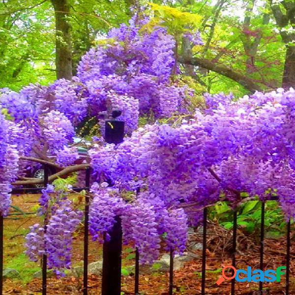 Egrow 10pcs wisteria semillas purple wisteria tree raro wisteria flower potted planting for home garden