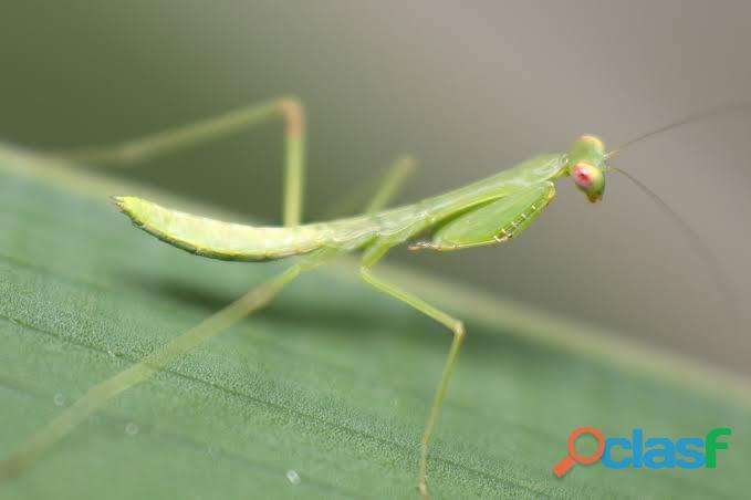 mantis stagmomantis limbata 1
