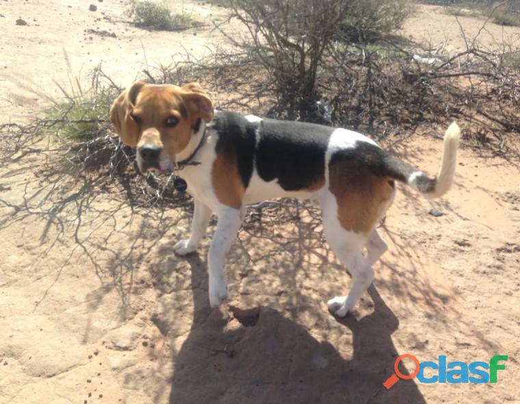 Perro beagle busca hembra beagle p 1