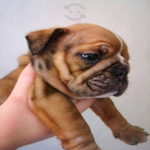 Cachorros bulldog inglés exóticos