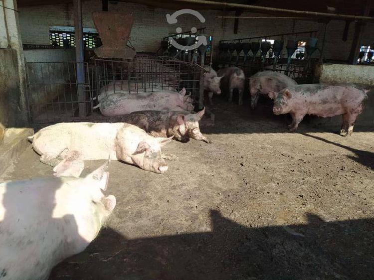 Venta de cerdos, cerdas de cria y lechones