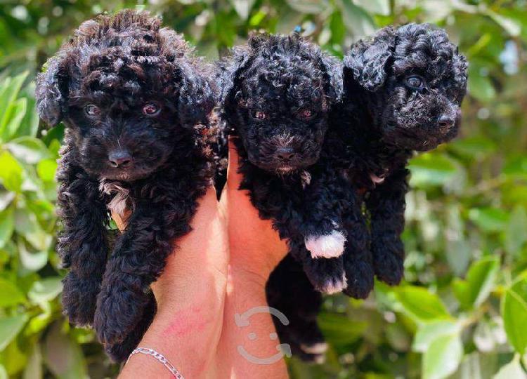 Machoos poodles