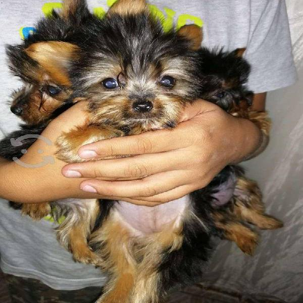 cachorro yorkshire terrier de casa minis