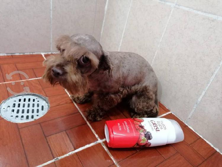 schnauzer miniatura cachorrita vacunada