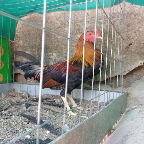 Aves finas, pollos de combate, gallos, gallinas