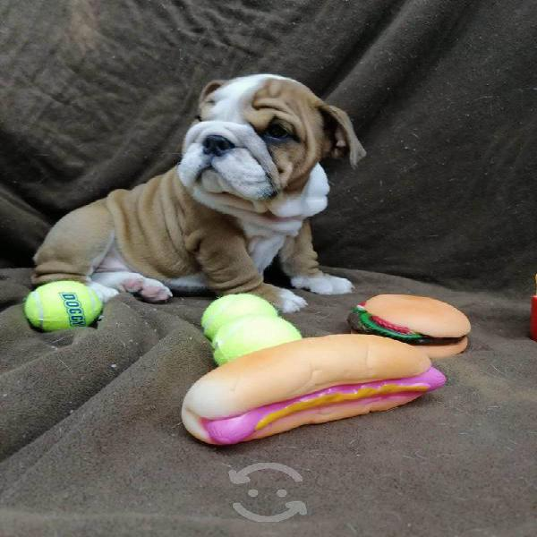Cachorra bulldog