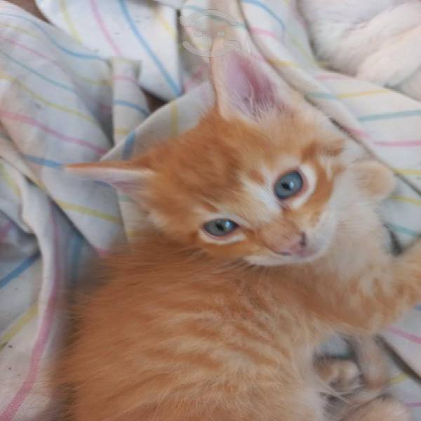 Hermosos gatitos en adopción