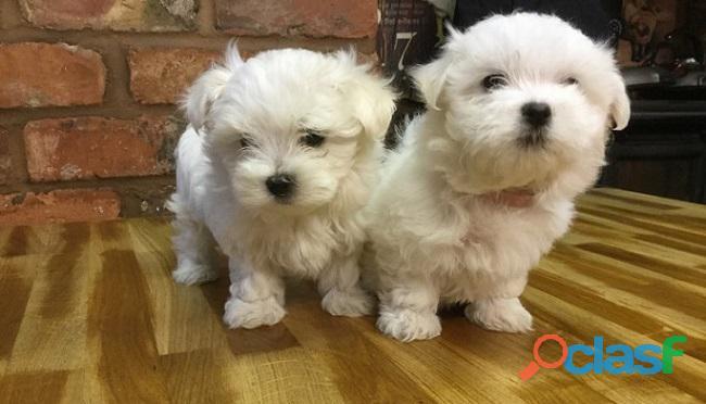 Dulces cachorros malteses machos y hembras listos para adopción