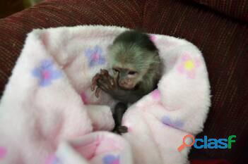 Increíble mono capuchino 2
