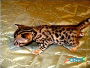 Gatitos de Bengala registrados en TICA disponibles