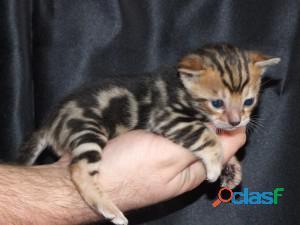 Gatitos de Bengala registrados en TICA disponibles 1